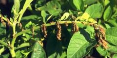 الأمراض المتسببة عن شعبة الفطريات الناقصة