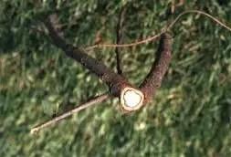 شكل رقم (2): أعراض الإصابة بالفطر فيرتسيليوم على أشجار maple