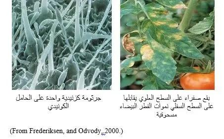 شكل رقم (1) أعراض البياض الدقيقي على أوراق الطماطم وشكل الفطر تحت المجهر