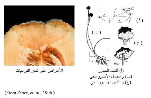 شكل رقم (5) الأعراض على ثمار القرعيات وشكل الفطر تحت المجهر