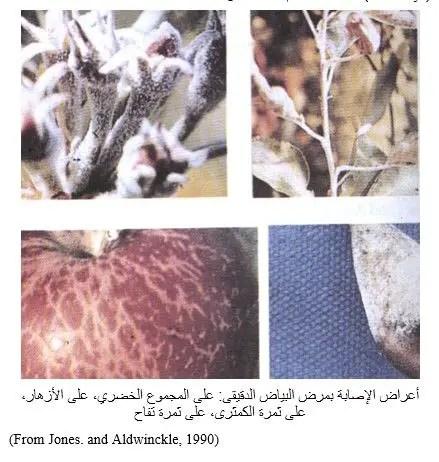 شكل رقم (1): أعراض الإصابة بمرض البياض الدقيقى