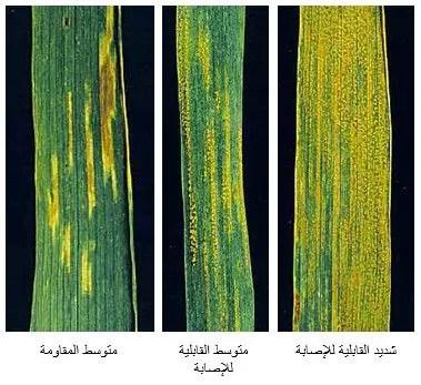 شكل رقم (2): الصدأ المخطط في القمح (اختلاف أصناف القمح في قابليتها للإصابة)