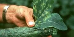 الأمراض المتسببة عن الفطر كلادواسبوريم