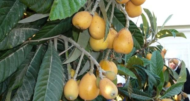 شجرة الأكيدنيا (المشمش الهندي )