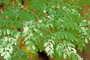 كتاب .. اشجار المورنجا