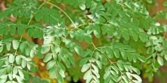 اشجار المورنجا