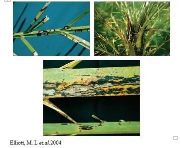 شكل رقم (2) الأعراض المتسببة عن الفطر بستالوتيوبسس على نخيل Phoenix roebelinii