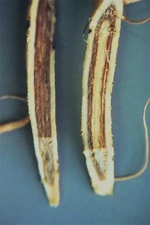 شكل رقم (1): تلون بني للأنسجة الداخلية (قطاع طولي في أنسجة الجذر الرئيسي)