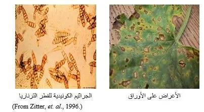شكل رقم (1): الأعراض على أوراق الكنتالوب، وجراثيم الفطر الترناريا تحت المجهر