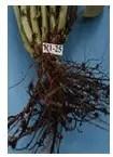 شكل رقم (2) الأعراض على جذور الفول البلدي