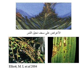 شكل رقم (1) الأعراض على نخيل الزينة المتسببة عن الفطر  Colletotrichum gloeosporioides
