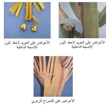 شكل رقم (1): أعراض الذبول على نخيل التمر.
