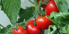 دور البورون في النبات