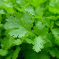 البقدونس Parsley