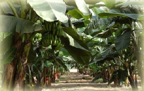 الموز السكري قصير الساق