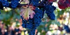 الآفات التي تصيب العنب