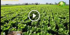 زراعة الخس بالتفصيل والتسميد والرى ومكافحة الافات