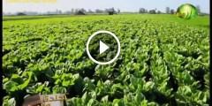 فيديو .. زراعة الخس بالتفصيل والتسميد والرى ومكافحة الافات