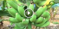فيديو .. طريقة زراعة الموز في البيوت البلاستيكية