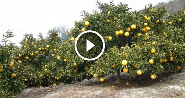 زراعة الليمون وفكرة التصويم ليعطى المحصول انتاج طول السنة