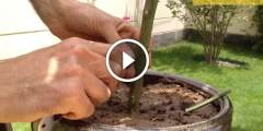 فيديو .. تطعيم شجرة الليمون