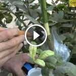 فيديو .. الترقيد الهوائي لشجرة الحمضيات