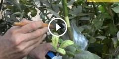 الترقيد الهوائي لشجرة الحمضيات