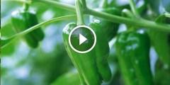 فيديو .. زراعة الفلفل الاخضر وطرق مكافحة اهم الافات بالتفصيل