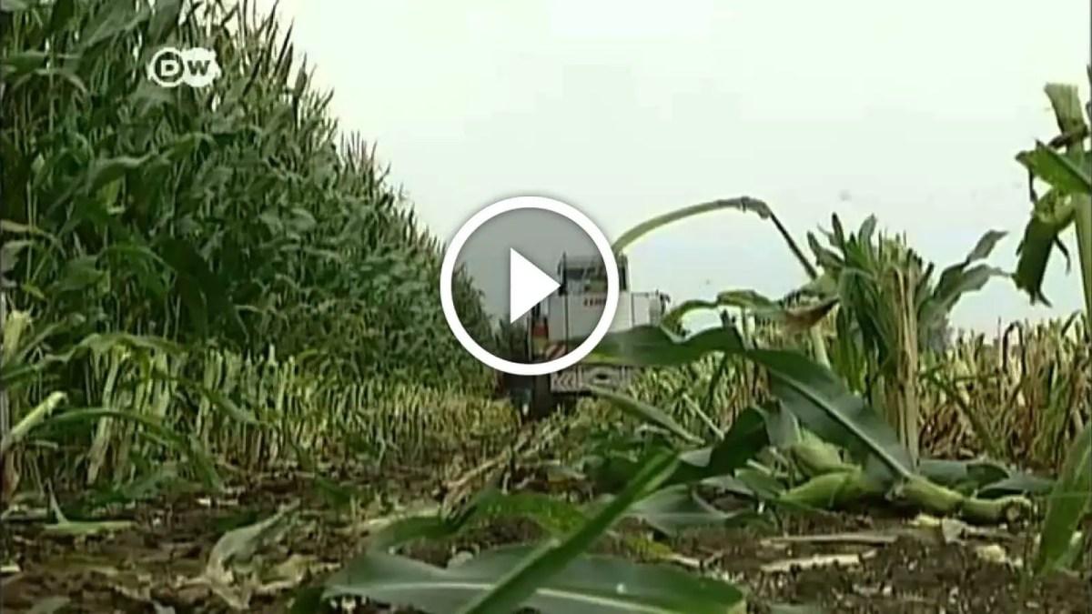 فيديو .. ما لا تعرفه عن زراعة الذرة