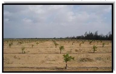 مزرعة موالح فى العام الأول من الزراعة