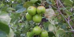 زراعة وانتاج التفاحيات