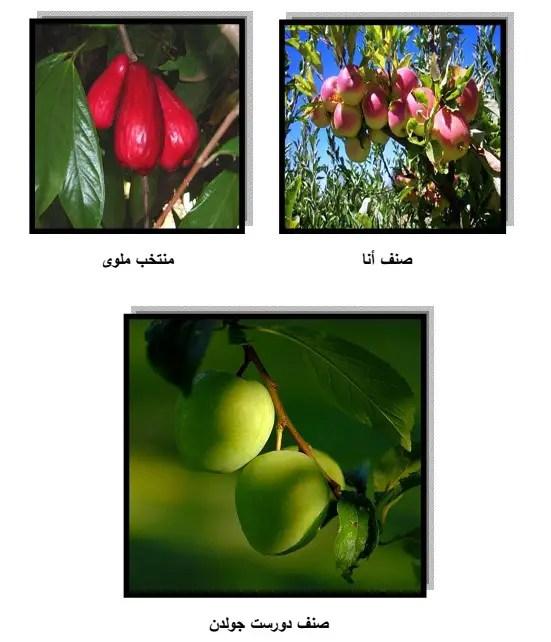 الأصناف التجارية للتفاحيات