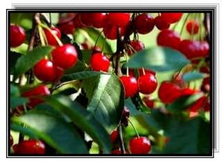 صفات الجودة لثمار أصناف الفاكهة
