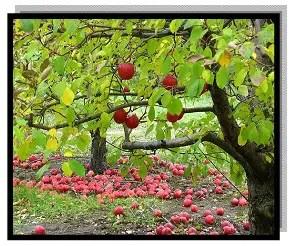 تساقط الثمار في التفاح