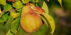الاحتياجات المناخية لزراعة الكمثرى