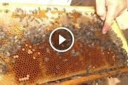 فيديو .. تربية النحل المعاملات الهامة اثناء الفرز والقطف الموالح
