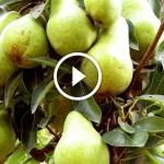 فيديو .. زراعة الكمثرى ومكافحة اللفحات والري والتسميد بعد فترة التزهير