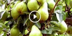 زراعة الكمثرى ومكافحة اللفحات والري والتسميد بعد فترة التزهير