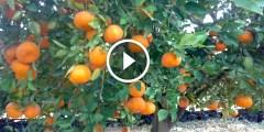 فيديو .. مميزات البرتقال أبو سرة واشنطن او المليسى للتصدير