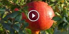محصول الرمان و ازالة السرطانات و طرق التقليم والتطهير بعد التقليم