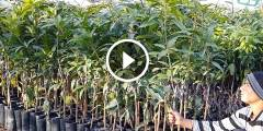 فيديو .. كيفية انتاج شتلات المانجو وطرق التطعيم من البذور حتى الارض المستدامة