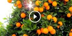 فيديو .. زراعة البرتقال ومكافحة القواقع باكثر من طريقة بالتفصيل