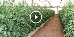 زراعة الطماطم فى الاراضى الصحراوية تنظيف شبكة الري والمقررات السمادية