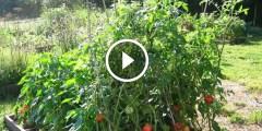 فيديو .. زراعة الطماطم فى الاراضى الصحراوية مغذيات التحجيم او زيادة حجم ثمرة الطماطم