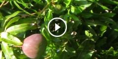 زراعة المانجو مكافحة والوقاية من البياض الدقيقي واللفحة
