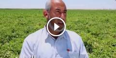 فيديو .. زراعة الطماطم فى الاراضى الصحراوية المعاملات اثناء مرحلة التزهير ومكافحة السوسة او التوتا ابسلوتا