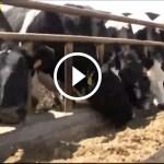 فيديو .. مشروع الابقار الحلابة التكلفة المتوقعة والعائد الاقتصادي المربح