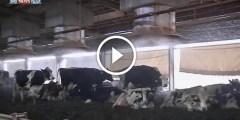 فيديو .. مزرعة أبقار مكيفة لزيادة الحليب
