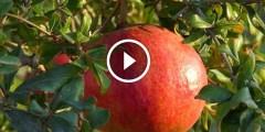 زراعة الرمان مركبات التحجيم وزيادة حجم الثمرة والتلوين