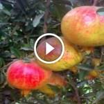 فيديو .. زراعة الرمان الوندرفل واهم المعاملات والتسميد ومكافحة اخطر الافات قبل الحصاد